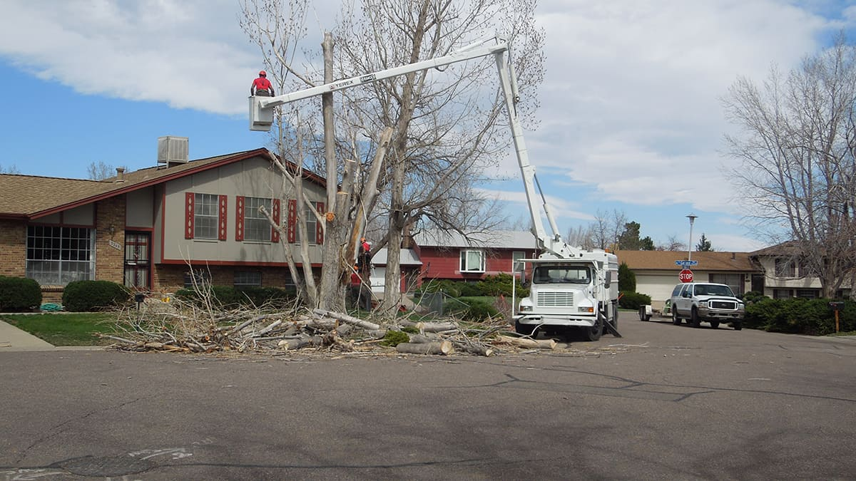 Tree needing removal from house in Denver CO