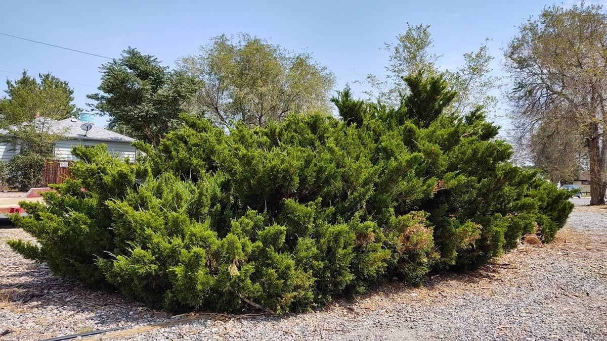 over grown bushes in Denver Colorado
