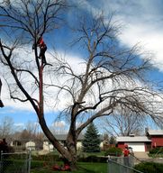 Tree service experts in Colorado